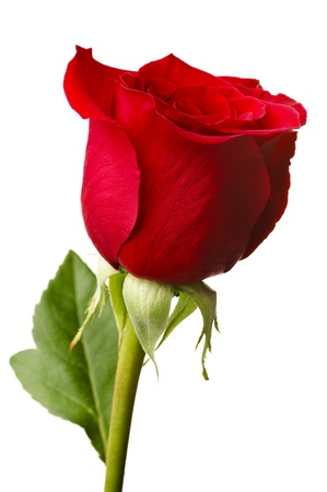 Single red rose, closeup shot, isolated on white background