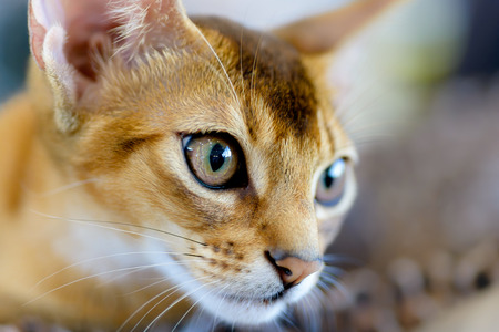 Animals: close-up portrait of young abyssinian cat