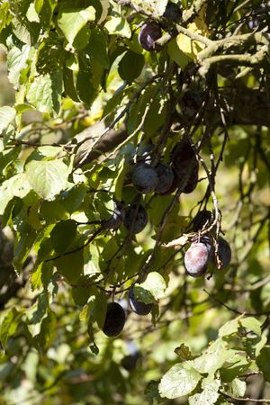 Plum tree - fruit on the branch