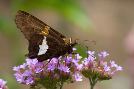 A butterfly drinks from tiny purple flowers