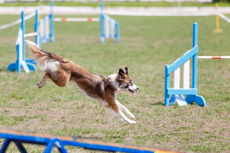 Photo pour Dog running its course on dog agility sport competition - image libre de droit