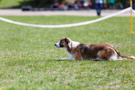 Photo pour Dog waiting for start its course in dog agility sport competition - image libre de droit