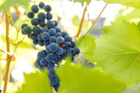 Foto für Bunch of ripe red grapes on the vine in ligths of sun - Lizenzfreies Bild