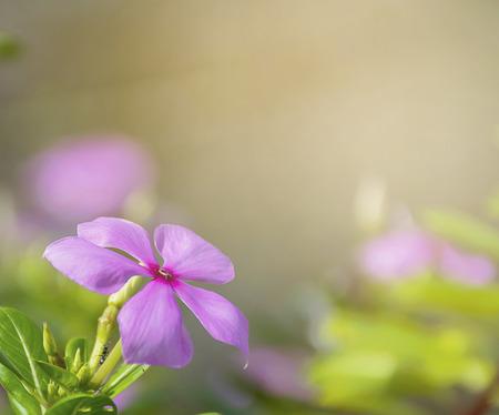 Purple Catharanthus roseus flowers. Pink Wildflower.