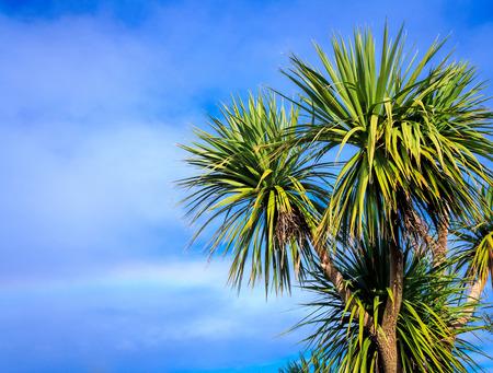 Ti kouka New Zealand cabbage palm tree, landscape with a blue sky