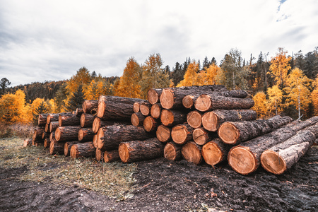 Foto de Wide-angle shot of a stockpile of fresh logs in the autumn woods with a mud ground in the foreground; a huge heap of a raw wood lumbers with a mixed fall forest in the background, rustic sawmill - Imagen libre de derechos