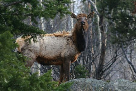 Elk at the Rocky Mountain National Park