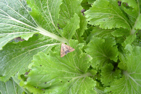 butterfly on cabbage
