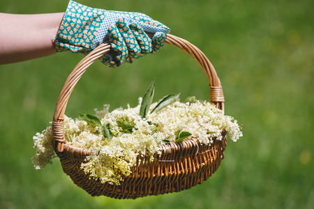Foto de Woman Holding Freshly Picked Elderflower For Cordial Preparation, selectice focus - Imagen libre de derechos