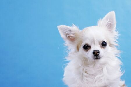 Foto de Cute wide eyed chihuahua on an isolated blue background in studio. Funny Chihuahua tilts her head to one side, then on other side. She is very curious and inquisitive. - Imagen libre de derechos