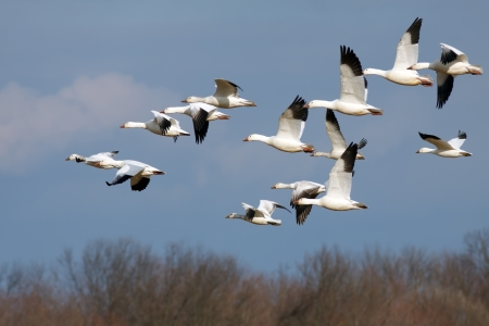 Snow Geese flying north during spring migration