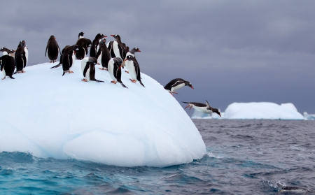 Photo pour Gentoo penguin jumping into water from iceberg - image libre de droit