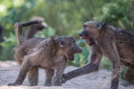 Two Baboons fighting in Kruger National Park