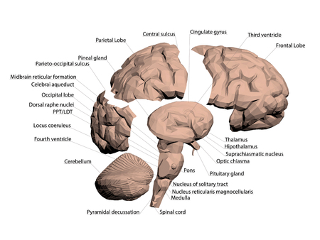 Illustration pour Structure of the human brain. All names that make up the brain are signed. The human brain is divided into several basic parts. 3D. Vector illustration. - image libre de droit