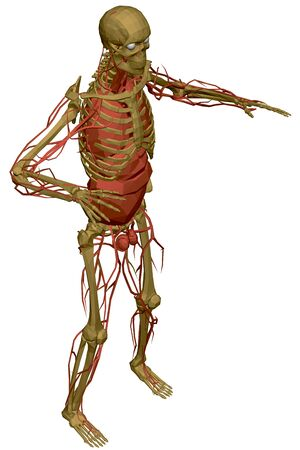 Illustration pour Human skeleton with blood vessels and internal organs. Polygonal model of the human skeleton. 3D. View isometric. Vector illustration - image libre de droit