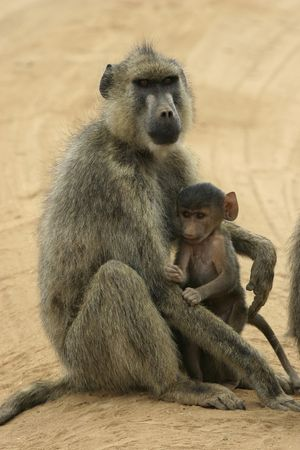 female yellow baboon with young