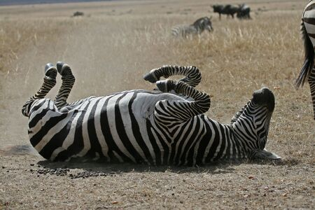 Plains zebra rolling in the dust