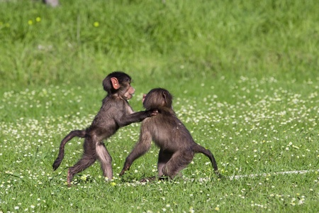 Baby chacma baboons playing rough and tumble in green grass