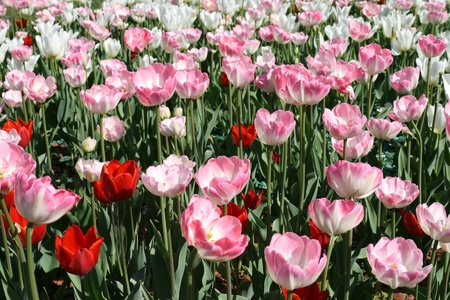 Tulips in a spring gardenの素材 [FY31013332719]