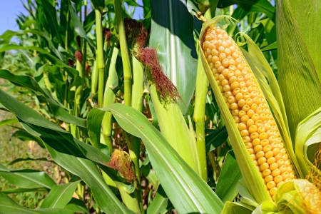 Young cob corn on the stalk
