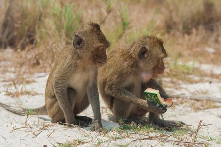 Small monkey eats watermelon on the beach.