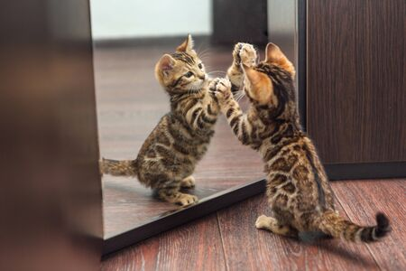 Photo for Little cute curious bengal kitten looking into the mirror of a wodrobe indoors - Royalty Free Image