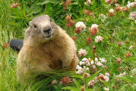 Photo pour Cute groundhog happily surrounded by fresh grass and wild flowers - image libre de droit