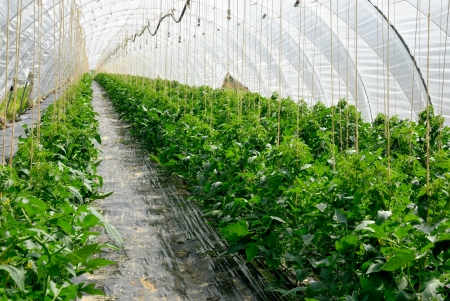 Rows of young tomato plants growing in a long greenhouse
