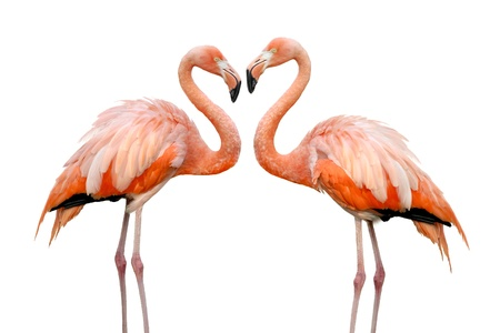 Photo pour Two beautiful flamingos in love - image libre de droit