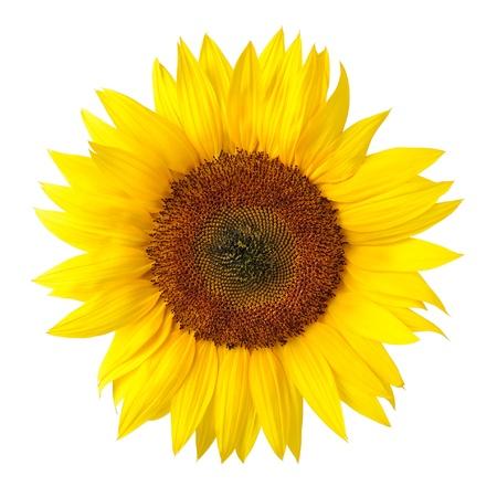 Foto de Bright studio shot of a large beautiful sunflower on white background - Imagen libre de derechos