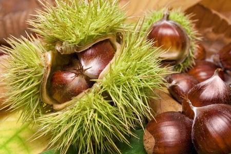 Fresh chestnuts with open husk on fallen autumn leaves