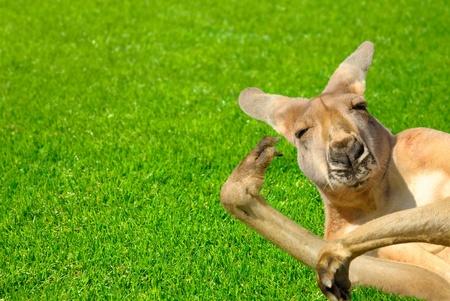 Humor shot of a lazy kangaroo enjoying the sunshine and posing in an amusing way