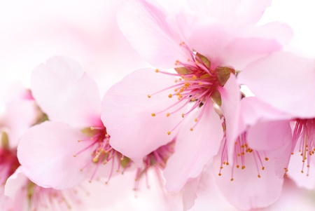 The smooth color and shape of cherry blossoms, a closeup with shallow focus