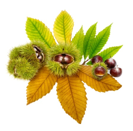 Isolated studio shot of neatly arranged chestnuts on green and yellow leaves