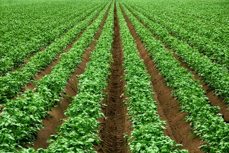 Field with rows of vibrant green crop plants on dark fertile soil