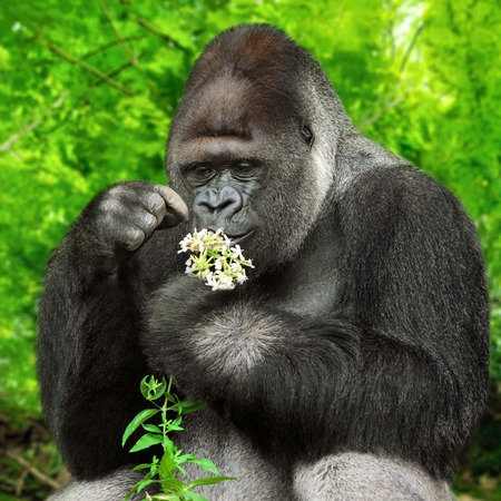 Large silverback gorilla gently holding a bunch of little flowers and observing them closely