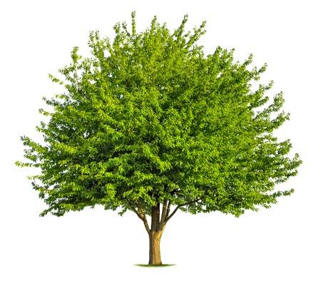 Foto für Beautiful fresh green deciduous tree isolated on pure white background - Lizenzfreies Bild