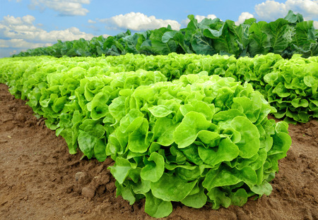 Rows of fresh lettuce plants on a fertile field, ready to be harvested