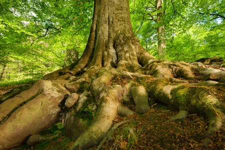 Mighty roots of a majestic old beech tree in a deciduous forest with beautiful light