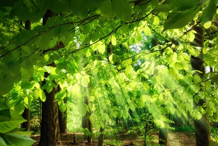 Photo for Rays of sunlight falling through the fresh, lush leaves of beech trees in a green forest, creating a surreal, yet pleasing atmosphere - Royalty Free Image
