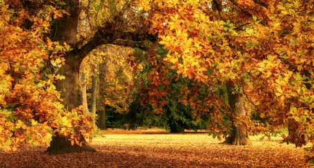 Tranquil autumn scenery showing a magnificent oak tree with colorful leaves in a park, with soft light, wide format