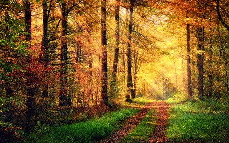 Autumn forest scenery with rays of warm light illumining the gold foliage and a footpath leading into the sceneの写真素材