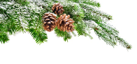 Fir branch and cones in fresh green, lightly covered in snow, with pure white copyspace background