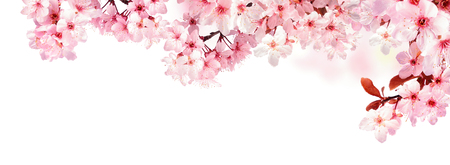 Photo for Dreamy cherry blossoms as a natural border, studio isolated on pure white background, panorama format - Royalty Free Image