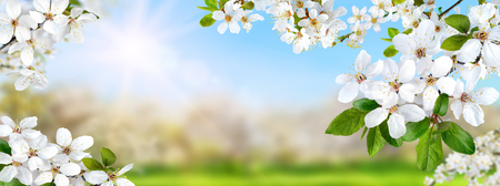 Nature composite showing a spring paradise with white blossoms, the sun and bright blue sky, panorama format