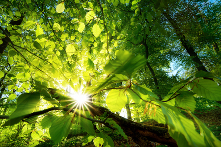 Foto de Rays of sunlight beautifully shining through the green leaves of a beech tree just above the forest ground - Imagen libre de derechos