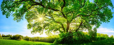 Foto de The sun shining through a majestic green oak tree on a meadow, with clear blue sky in the background, panorama format - Imagen libre de derechos