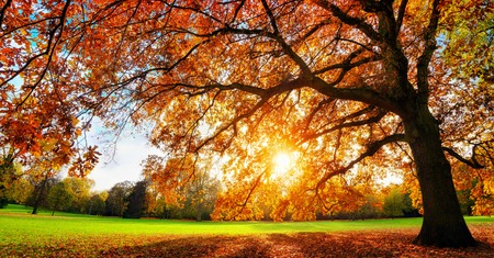 Foto per Beautiful oak tree on a lawn with the setting autumn sun shining warmly through its leaves - Immagine Royalty Free