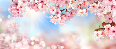 Foto de Panoramic spring scenery with beautiful pink cherry blossoms, bokeh background, the sun and blue sky - Imagen libre de derechos
