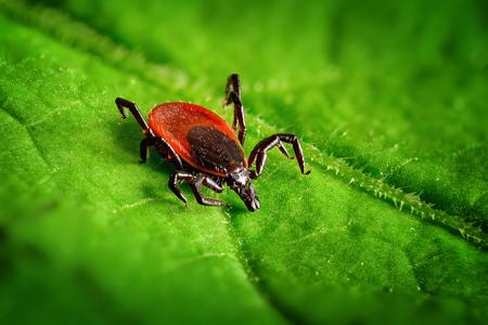 Red tick scrabbling on a green leaf, sharp closeup